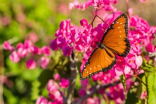 Queen butterfly (Danaus gilippus) on queen's wreath (Antigonon leptopus), Himalaya Beach, Sonora, Meの写真素材 [FYI03770315]