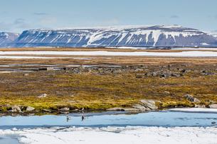 Courting pair of long-tailed ducks (Clangula hyemalis), Bellsund, Spitsbergen, Svalbard, Arctic, Norの写真素材 [FYI03770340]