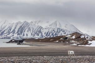 Svalbard reindeer (Rangifer tarandus) on the tundra in Varsolbukta, Bellsund, Spitsbergen, Arctic, Nの写真素材 [FYI03770359]