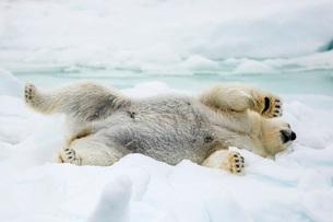 Adult polar bear (Ursus maritimus) stretching on first year sea ice in Olga Strait, near Edgeoya, Svの写真素材 [FYI03770374]