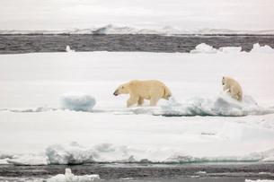 Mother and calf polar bear (Ursus maritimus) on first year sea ice in Olga Strait, near Edgeoya, Svaの写真素材 [FYI03770383]