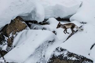Adult arctic fox (Vulpes lagopus) on ice, losing its winter coat for its summer coat, Alkefjelet, Caの写真素材 [FYI03770386]