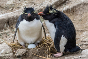 Adult rockhopper penguins (Eudyptes chrysocome) at nesting site on New Island, U.K. Overseas Protectの写真素材 [FYI03770421]