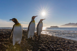 King penguins (Aptenodytes patagonicus) at sunrise, in St. Andrews Bay, South Georgiaの写真素材 [FYI03770499]
