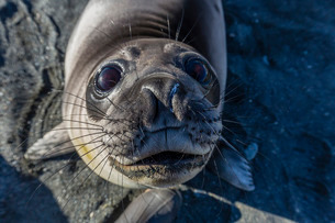Curious southern elephant seal pup (Mirounga leonina), Gold Harbor, South Georgiaの写真素材 [FYI03770513]