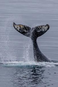 Humpback whale (Megaptera novaeangliae) surface display, tail throw, Useful Island, Antarcticaの写真素材 [FYI03770520]