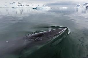 A curious Antarctic minke whale (Balaenoptera bonaerensis), approaches the Zodiac in Neko Harbor, Anの写真素材 [FYI03770534]