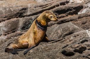 California sea lion (Zalophus californianus) female with monofilament net around her neck on Los Islの写真素材 [FYI03770554]
