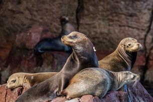 California sea lions (Zalophus californianus) hauled out on Los Islotes, Baja California Sur, Mexicoの写真素材 [FYI03770560]