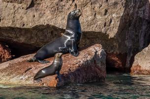 California sea lion (Zalophus californianus) bull and pup hauled out on Los Islotes, Baja Californiaの写真素材 [FYI03770566]