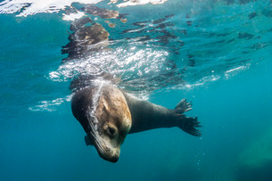 Adult California sea lion (Zalophus californianus) bull underwater at Los Islotes, Baja California Sの写真素材 [FYI03770569]