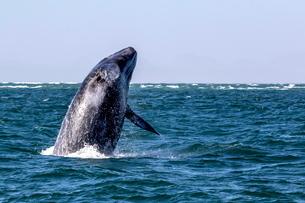 California gray whale calf (Eschrichtius robustus) breaching in San Ignacio Lagoon, Baja Californiaの写真素材 [FYI03770576]
