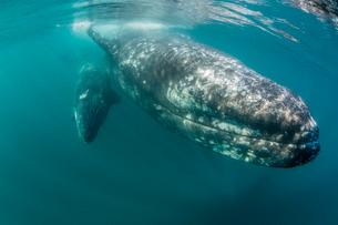 California gray whale (Eschrichtius robustus) mother and calf underwater in San Ignacio Lagoon, Bajaの写真素材 [FYI03770584]