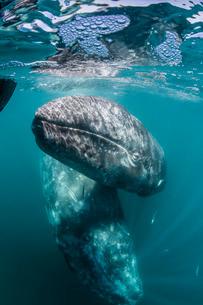 California gray whale (Eschrichtius robustus) mother and calf underwater in San Ignacio Lagoon, Bajaの写真素材 [FYI03770588]