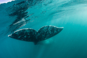 California gray whale (Eschrichtius robustus) flukes underwater in San Ignacio Lagoon, Baja Californの写真素材 [FYI03770590]