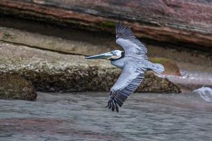 An adult brown pelican (Pelecanus occidentalis) in flight at Punta Colorado, Isla San Jose, Baja Calの写真素材 [FYI03770592]