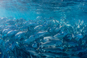 A large school of bigeye trevally (Caranx sexfasciatus) in deep water near Cabo Pulmo, Baja Californの写真素材 [FYI03770593]