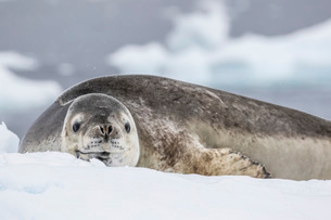Adult leopard seal (Hydrurga leptonyx), hauled out on ice in Buls' Bay, Brabant Island, Antarcticaの写真素材 [FYI03770629]