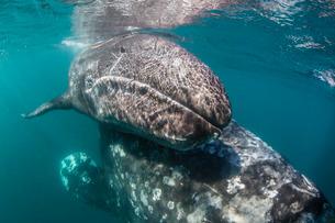 California gray whale (Eschrichtius robustus) mother and calf underwater in San Ignacio Lagoon, Bajaの写真素材 [FYI03770631]