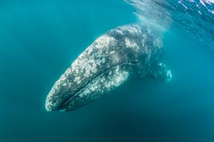 California gray whale (Eschrichtius robustus) mother underwater in San Ignacio Lagoon, Baja Californの写真素材 [FYI03770632]