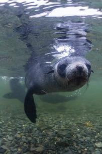 Curious Antarctica fur seal pups (Arctocephalus gazella), underwater in Husvik Bay, South Georgia Ovの写真素材 [FYI03770647]
