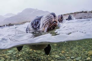 Antarctica fur seal pup (Arctocephalus gazella), above and below underwater in Husvik Bay, South Geoの写真素材 [FYI03770650]