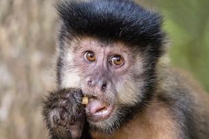 Adult black capuchin (Sapajus nigritus) head detail, Iguazu Falls National Park, Misionesの写真素材 [FYI03770697]