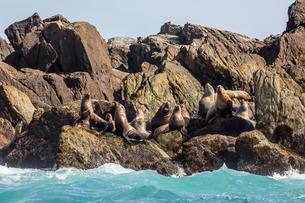 Steller sea lion (Eumetopias jubatus), haul out on S'Gang Gwaay Llanagaay, Anthony Island, Haida Gwaの写真素材 [FYI03770722]