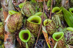 Tropical pitcher plants (Nepenthes spp,) at the Semenggoh Rehabilitation Center, Sarawak, Borneo, Maの写真素材 [FYI03770746]