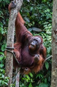 Young male Bornean orangutan (Pongo pygmaeus), Semenggoh Rehabilitation Center, Sarawak, Borneo, Malの写真素材 [FYI03770749]
