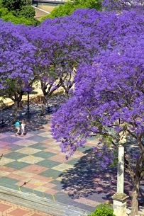 Blossoming Jacaranda trees, Alameda Vieja, Jerez de la Frontera, Cadiz Province, Andaluciaの写真素材 [FYI03770815]