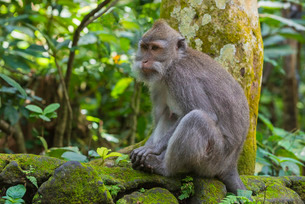 Long-tailed macaque (crab-eating macaque) (Macaca fascicularis), Sacred Monkey Forest, Ubud, Bali, Iの写真素材 [FYI03770947]