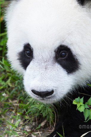 Two year old young giant panda (Ailuropoda melanoleuca) Conservation and Research Centre, Chengdu, Sの写真素材 [FYI03770980]