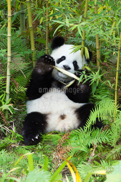 Two year old young giant panda (Ailuropoda melanoleuca) Conservation and Research Centre, Chengdu, Sの写真素材 [FYI03770981]