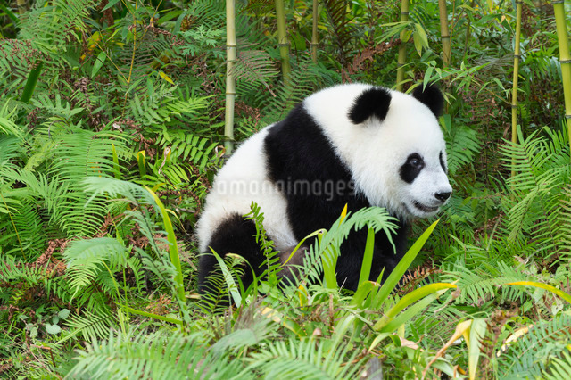 Two years aged young giant panda (Ailuropoda melanoleuca) Conservation and Research Centre, Chengdu,の写真素材 [FYI03770983]