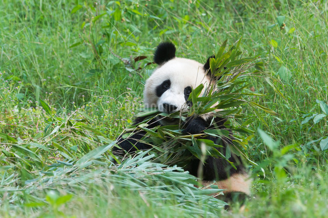 Adult giant panda (Ailuropoda melanoleuca) eating bamboo,  China Conservation and Research Centre, Cの写真素材 [FYI03770984]