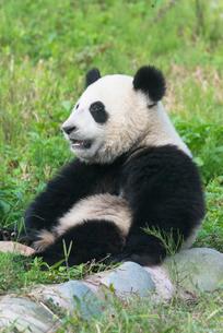 Two year old young Giant Panda (Ailuropoda melanoleuca), Chengdu, Sichuanの写真素材 [FYI03771001]