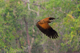 Black-collared Hawk (Busarellus nigricollis) in flight, Pantanal, Mato Grosso, Brazilの写真素材 [FYI03771003]