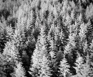 Snow-covered trees in winter, Nature Reserve, Kaltenbronn, Gernsbach, Black Forest, Baden Wurttemberの写真素材 [FYI03771334]
