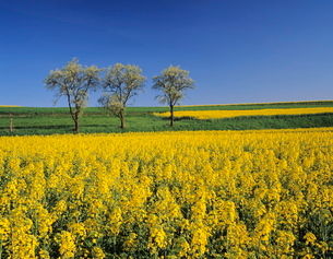 Fruit tree blossom and rape field in spring, Tubingen, Baden Wurttembergの写真素材 [FYI03771366]