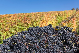 Red wine grapes with colourful vineyards in autumn, grape harvest, Uhlbach, Stuttgart, Baden Wurttemの写真素材 [FYI03771417]