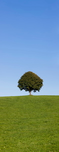 Single tree on a hill, Allgau, Swabia, Baden Wurttembergの写真素材 [FYI03771520]