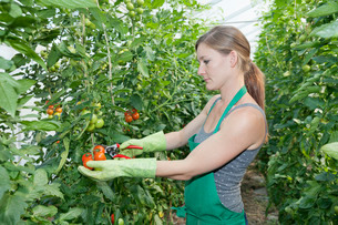 Young woman picking tomatoes in a greenhouse, Esslingen, Baden Wurttembergの写真素材 [FYI03771670]
