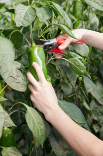 Young woman picking green peppers in a greenhouse, Esslingen, Baden Wurttembergの写真素材 [FYI03771674]