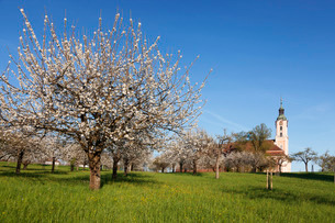 Pilgrimage church of Birnau Abbey, fruit tree blossom in spring, Lake Constance, Baden-Wuettembergの写真素材 [FYI03771931]