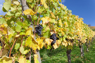 Vineyards with red wine grapes in autumn, Uhlbach, Baden-Wurttembergの写真素材 [FYI03772004]