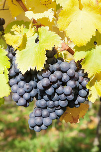 Vineyards with red wine grapes in autumn, Uhlbach, Baden-Wurttembergの写真素材 [FYI03772005]