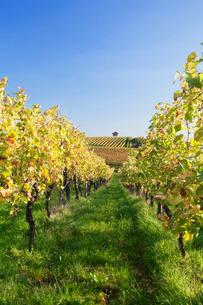 Cottage in vineyards in autumn, Uhlbach, Baden-Wurttembergの写真素材 [FYI03772006]
