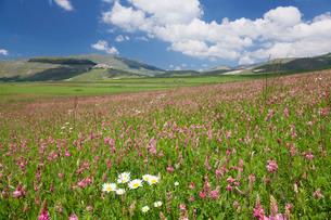 Field of wildflowers, Castelluccio di Norcia, Piano Grande, Monti Sibillini National Park, Perigua Dの写真素材 [FYI03772007]