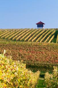 Cottage in vineyards in autumn, Uhlbach, Baden-Wurttembergの写真素材 [FYI03772008]